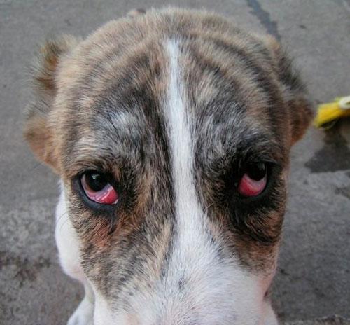 Коньюктивит у собаки
