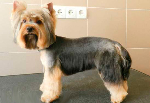 Собака со стрижкой